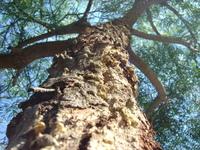 Crusty tree