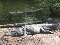 Alligator 2