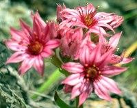 mountain flowerets