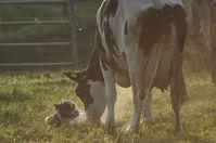 Born Calf