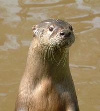 American Otter