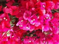 SF: Pink Flowers 01