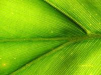 Leafy Vein