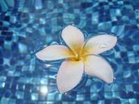 Frangipani in Water 3