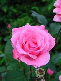 Pink Roses - Cruzeiro do Sul