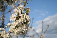 blooming tree 1