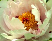 japanflower 1