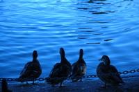 Ducks watching Water 2