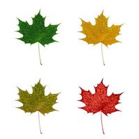 Maple-Leaf 5
