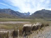 Sheep in Peruvian mountains 1