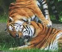Tigers 2