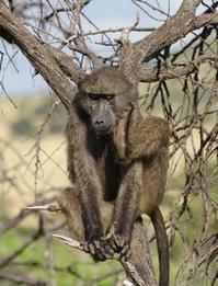 Scratching baboon