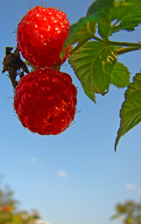 rasberry 3