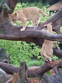 Lion Cups