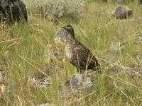 Yellowstone Sage Hen