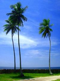 Coconut palm, way, wall and sea
