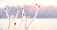 Ice Crystals on Plants
