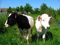 Belgian calfs 2