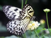 Butterfly_ 1