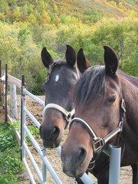 Arabians 1