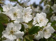 Flowers cherry 2