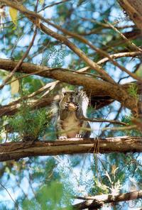 Squirrel in Ceader 1