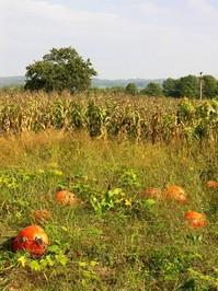 Field with pumpkins 1