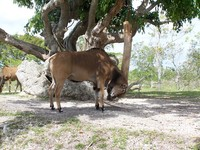 Giant Eland 1