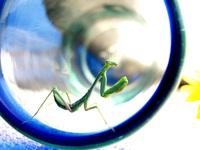 Praying Mantis in Glass 3