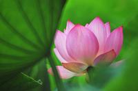 Summer Lotus 4