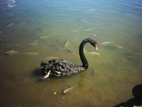 Cisne negro 5