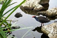 Pukeko-blue water hen