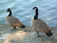 BC ducks