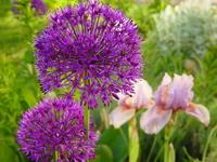 alliums and iris