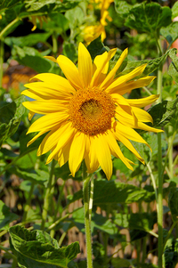 Sunflowers and bees 3
