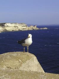 seagull, bonifacio