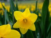 spring Daffs 2