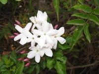 Jasmine cluster