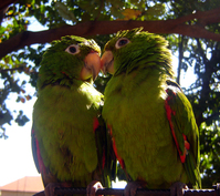 Bird_love_SRB