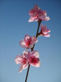 Peach In Blossom 1
