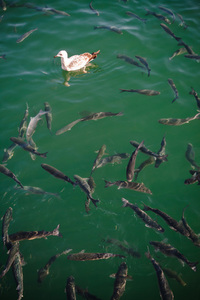 Seagull in fish heaven