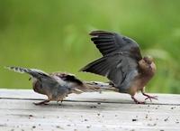 Dancing Doves