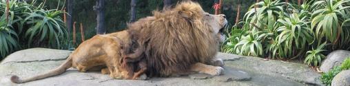 Lion [Sidewise]