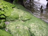 seaweed in harbour