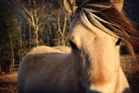 Fjord Horse Soul