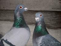 [PL] Homing pigeons