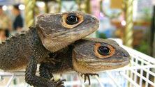twins irian lizard 1