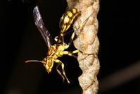 Wasp Nest 4