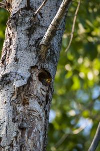 starling nestling
