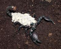 Baby Emperor Scorpions